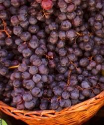 Grape Vine Black Spanish Lenoir Bunch Grape Black Blue