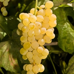 himrod seedless white table grape vine vitis labrusca zone 5