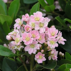 Indian Hawthorn Pinkie Rhaphiolepis Indica Zone 7