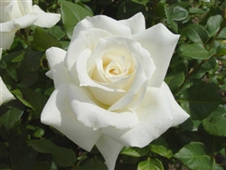 Pascali White Hybrid Tea Rose Zone 6