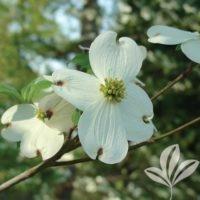 Dogwood White Flowering Cornus Florida Single White Blooms Red