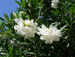 Oleander Hardy White White Blooms Zone 8